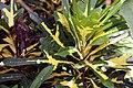 Codiaeum variegatum 22zz.jpg