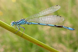 Coenagrion mercuriale.jpg