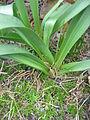 Colchicum bulbocodium leaves & fruit.jpg