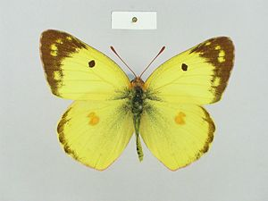 Colias alfacariensis sareptensis male Paralectotype 03 dorsal side ZISP.jpg