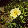 Collectie Nationaal Museum van Wereldculturen TM-20029706 Bloem van een gele hibiscus Bonaire Boy Lawson (Fotograaf).jpg