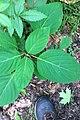 Collinsonia canadensis SCA-0598.jpg