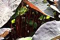 Colocasia esculenta 17zz.jpg