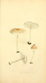 Coloured Figures of English Fungi or Mushrooms - t. 14.png