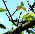 Commiphora harveyi, blaar, Krantzkloof NR.jpg
