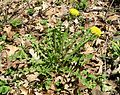 Common Dandelion (Taraxacum officinale) - Flickr - Jay Sturner (3).jpg
