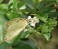 Common Emigrant (Catopsilia pomona)- Female at Kolkata Iws IMG 0271.jpg