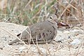 Common Ground Dove, Tawas Point, Michigan 02.jpg