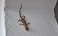 Common House Gecko Ras Michamvi Zanzibar.JPG