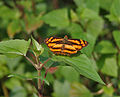 Common Jester at Samsing, Duars, West Bengal W IMG 6376.jpg