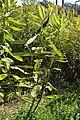 Common Milkweed (Asclepias syriaca) - Kitchener, Ontario 2019-09-14.jpg