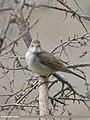 Common Whitethroat (Sylvia communis) (49250143571).jpg