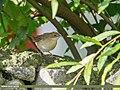 Common Whitethroat (Sylvia communis) (50433080613).jpg