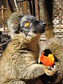 Common brown lemur.jpg