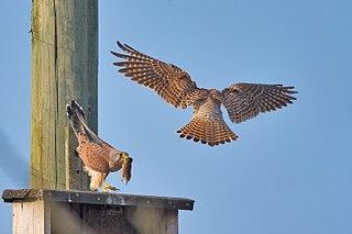 Sokoly myšiare (Falco tinnunculus)
