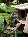Common moorhen youngling - chick.JPG