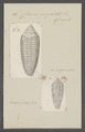 Conus nussatella - - Print - Iconographia Zoologica - Special Collections University of Amsterdam - UBAINV0274 085 10 0087.tif