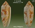 Conus nussatella 3.jpg