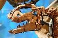 Convolosaurus skull.jpg
