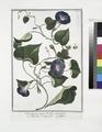Convolvulus major, floribus azzurreis - Villucchio, o Campanelle - Leferon (NYPL b14444147-1124945).tiff