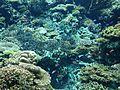 Corals in Okinawa Churaumi Aquarium 1.JPG