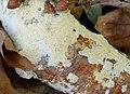 Coriolellus albidus? (32622998591).jpg