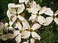 Cornus florida 002.JPG