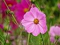 Correo (Cosmos bipinnatus) - Flickr - Alejandro Bayer (3).jpg