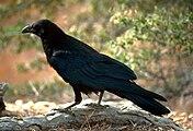 One black raven
