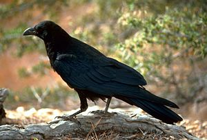 English: Raven (Corvus corax) in Utah, United ...