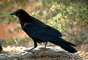English: Raven (Corvus corax) in Utah, United (Image via Wikipedia)