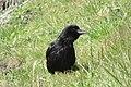 Corvus corone 123417694.jpg