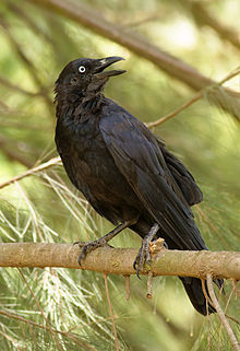Crow (Australian Aboriginal mythology) - Wikipedia, the free ...