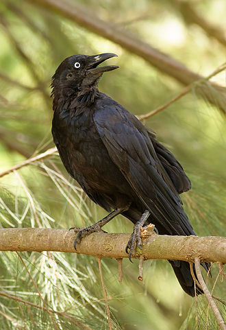 Crow (Australian Aboriginal mythology) - Australian raven (Corvus coronoides)