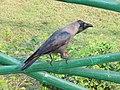 Corvus splendens -House Crow, Indian House Crow- at Kolkatta - IRCTC 2017 (1).jpg
