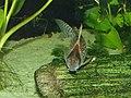 Corydoras schwartzi m.jpg