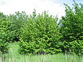 Corylus avellana shrub.jpg