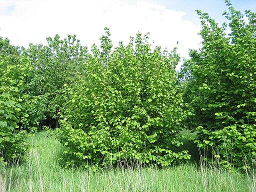Corylus avellana shrub