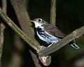 Corythopis delalandi -Extrema, Minas Gerais, Brazil-8 (1).jpg