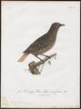 Cotinga caerulea - 1801 - Print - Iconographia Zoologica - Special Collections University of Amsterdam - UBA01 IZ16600065.tif