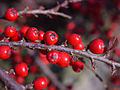 Cotoneaster horizontalis, fruit 02.jpg