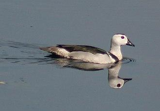 Pygmy goose - Image: Cotton Pgymy Goose I2 Kolkata IMG 4808
