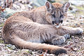 Cougar Curled Up (16439897944).jpg