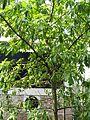 Couroupita guianensis (Cannonball) tree in RDA, Bogra 02.jpg
