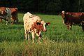 Cows by Kuninkaantie, Sipoo.JPG