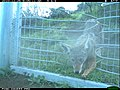 Coyote at the One-Way Gate (11425786283).jpg