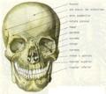Cráneo1.png
