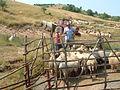 Craia, îmbăiatul oilor.jpg