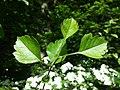 Crataegus laevigata (subsp. laevigata) sl28.jpg