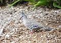 Crested Pigeon (32407126831).jpg